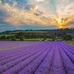 Lavender my no 1 oil