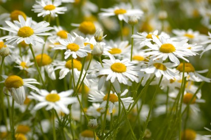 Chamomile-uses and benefits