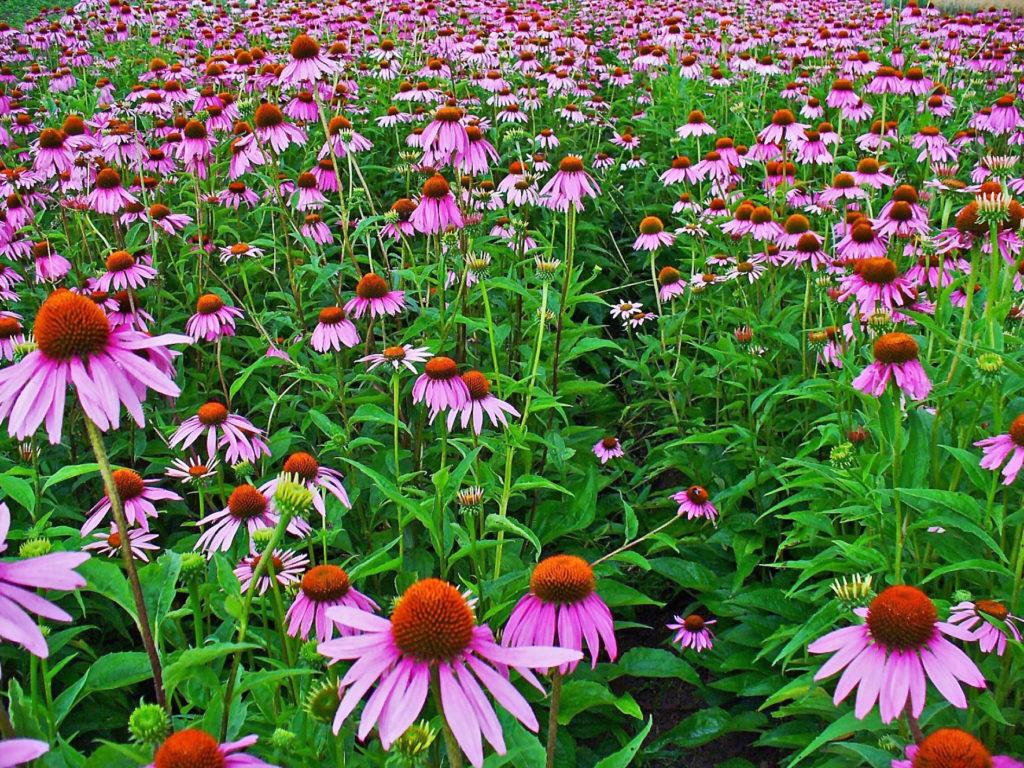 Echinacea-herb-immunity