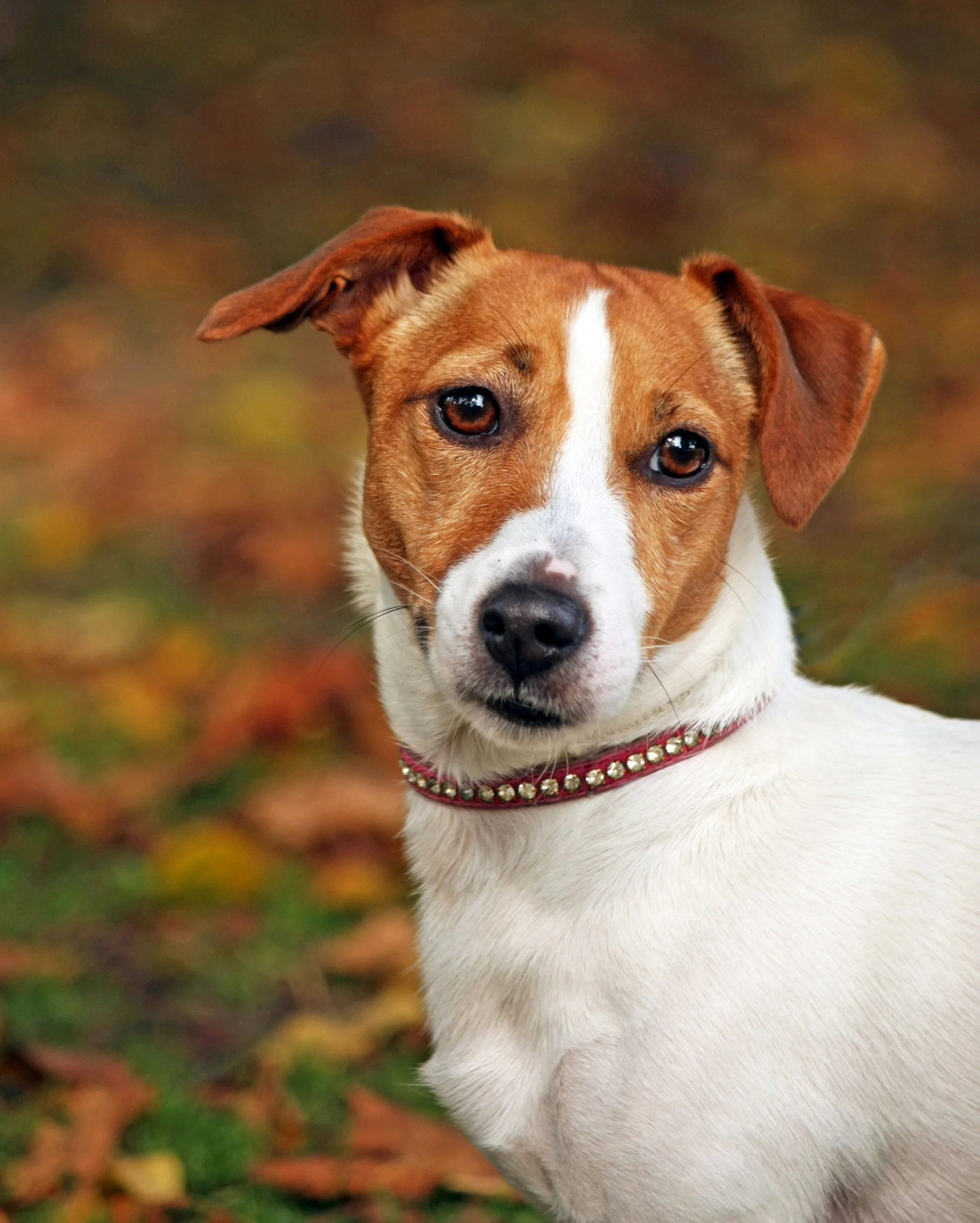 dog-jack-russell-terrier