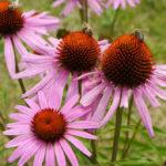 Echinacea-immunity-boost