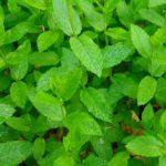 Peppermint-herb-oil