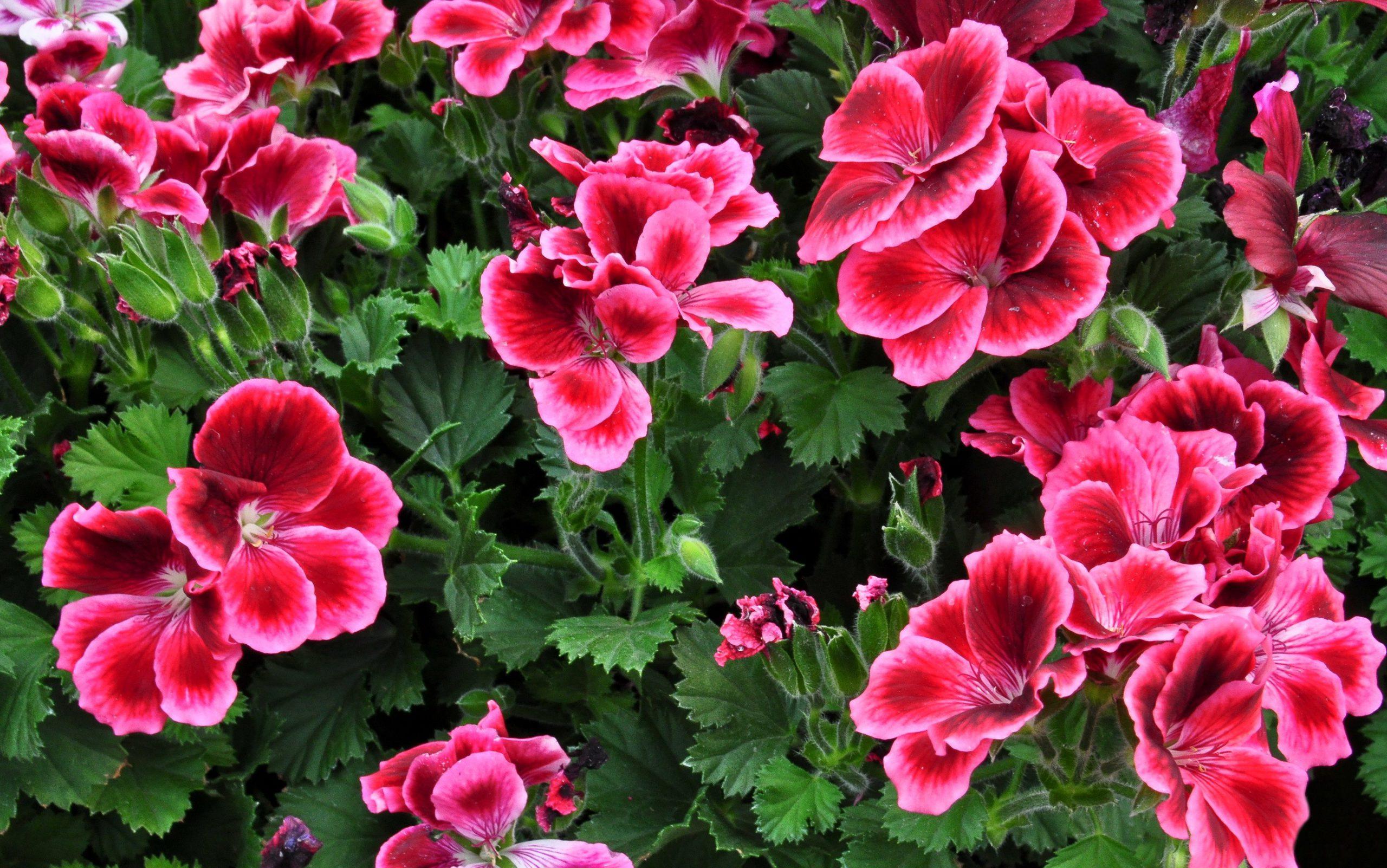 Geranium-flower